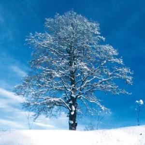 faggio-inverno-neve